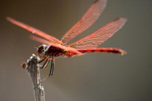 soñar con libélula