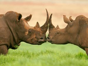 soñar con rinocerontes