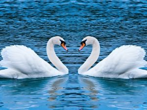soñar con cisnes