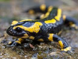 soñar con salamandras