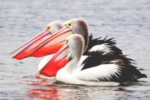 soñar con pelicanos