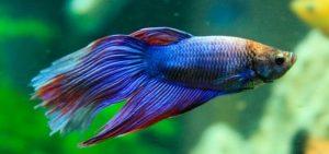 soñar con pez betta