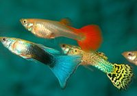 soñar con pez guppy
