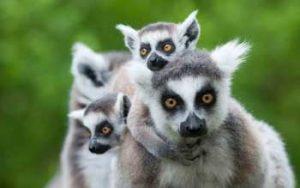 soñar con lémures