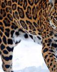 ¿Qué significa soñar con un Jaguar?