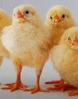 ¿Qué significa soñar con polluelos?