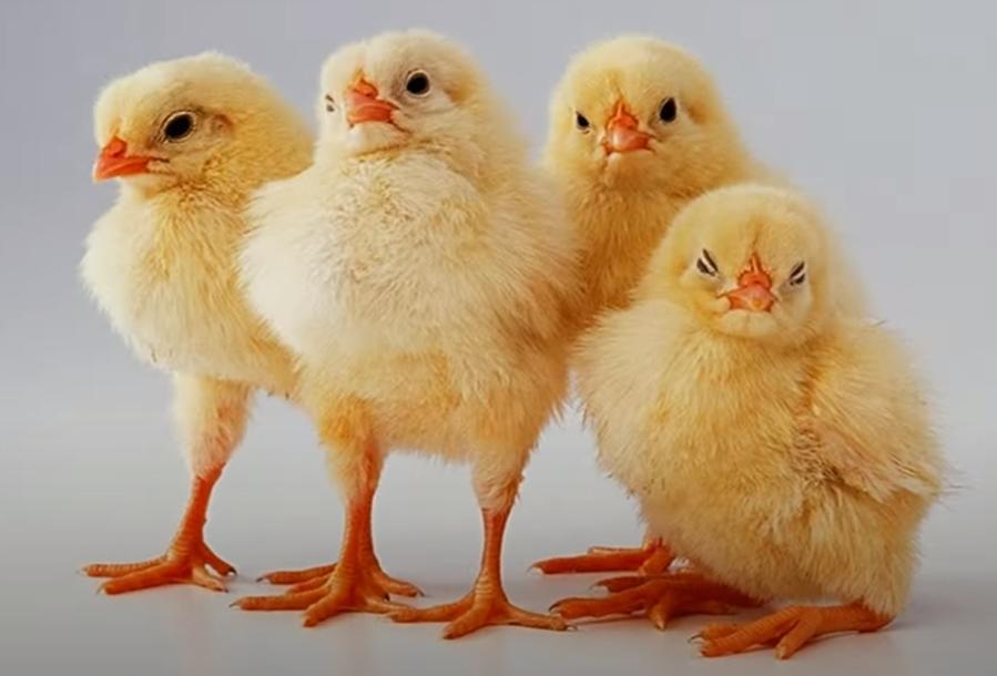 soñar con polluelos