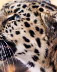 Soñar con un leopardo ¿qué significa?