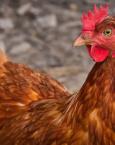 Soñar con una gallina ¿qué significa?