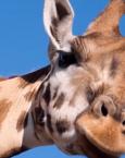 Soñar con una jirafa ¿qué significa?
